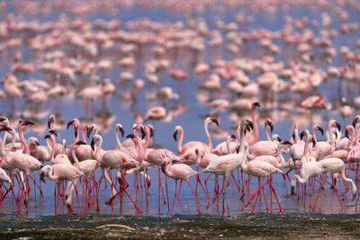 Flock of Lesser Flamingoes Feeding and Walking in Shallow Lake
