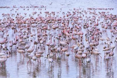 Flock of Lesser Flamingoes in Shallow Lake