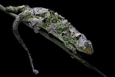 Chamaeleo Johnstoni (Johnston's Chameleon) - Shedding its Skin