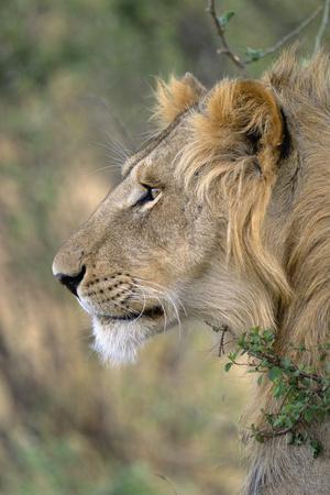 Lion in Bushes