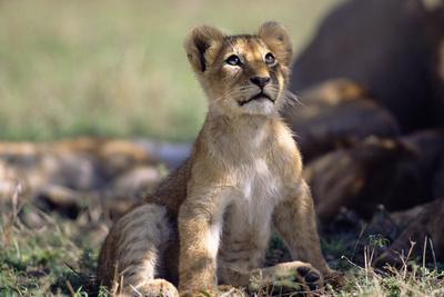 Lion Cub Watching Birds