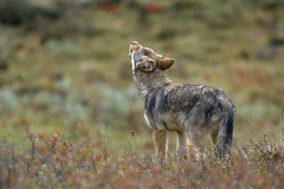 Young Gray Wolf Pup Howls in Tundra