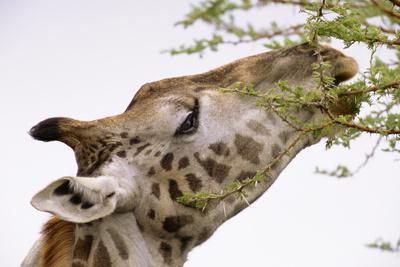 Masai Giraffe Eating Acacia Leaves