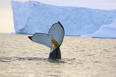 Humpback Whale Displaying Fluke