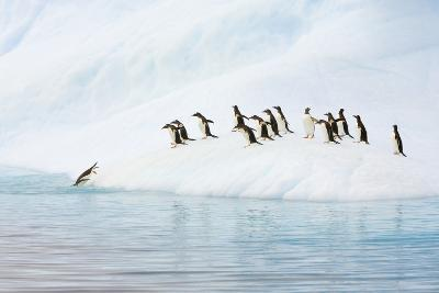 Gentoo Penguins Leaving Iceberg