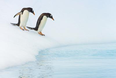 Gentoo Penguins Preparing to Jump in Water