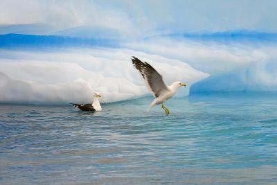 Dominican Seagulls by Iceberg