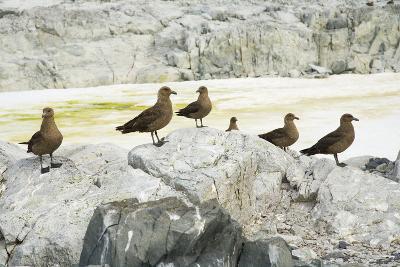 Brown Skuas Standing on Rocks