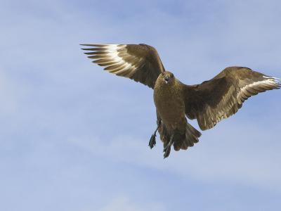 Brown Skua in Flight