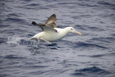 Wandering Albatross Running to Take Off