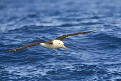 Black-Browed Albatross Flying above Sea