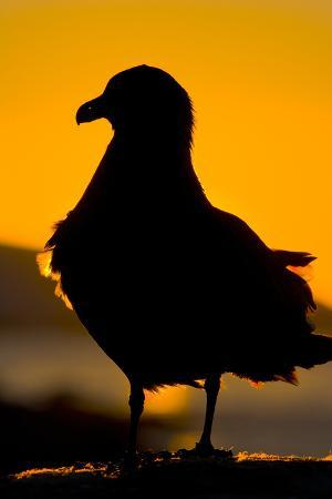 Setting Sun behind Brown Skua