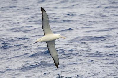 Wandering Albatross Flying above Sea