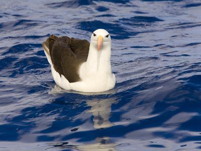 Black-Browed Albatross Floating on Sea
