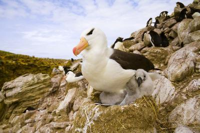 Black-Browed Albatross with Chick on Nest