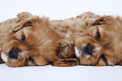 Cavalier King Charles Spaniel Puppies Lying Down