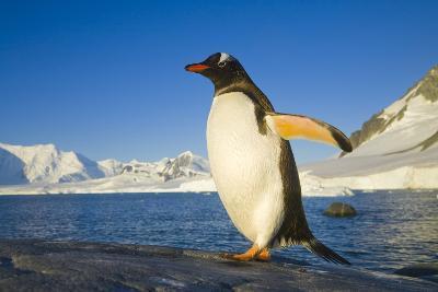 Gentoo Penguin Walking on Coastal Rock