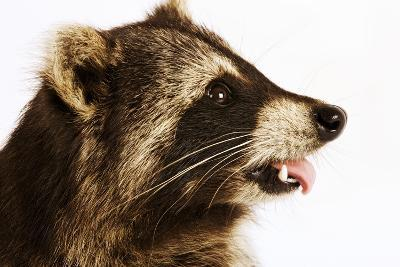 Profile of a Raccoon