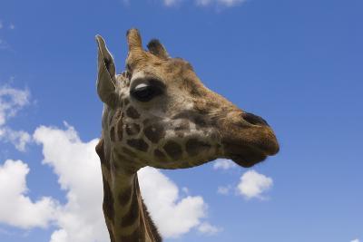 Baringo Giraffe at Giraffe Manor in Nairobi