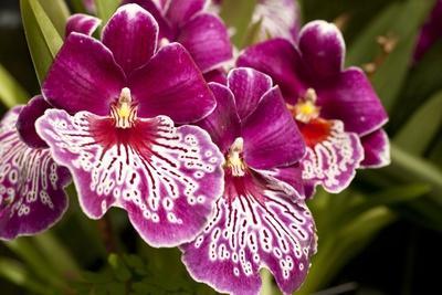 Purple Butterfly Orchids