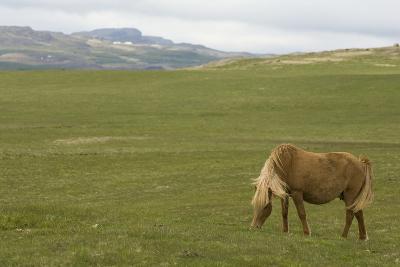 Icelandic Horse Grazing near Lagarfljot Lake