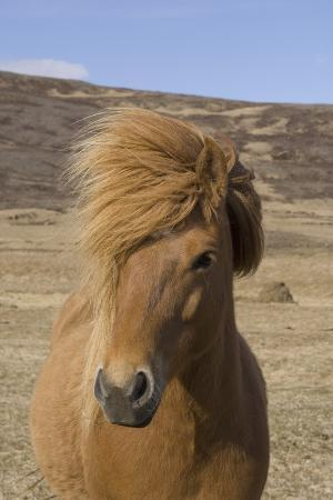 Icelandic Horse on the Snaefellsnes Peninsula