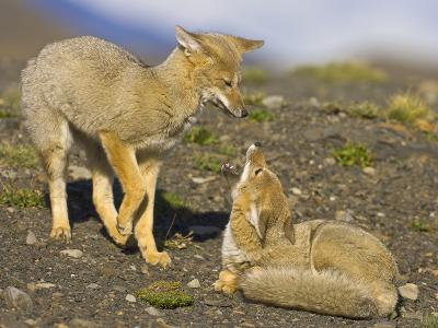 Two Paragonian Grey Fox Pups Playing
