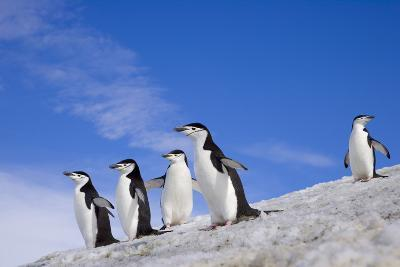 Chinstrap Penguins Descending Ridge