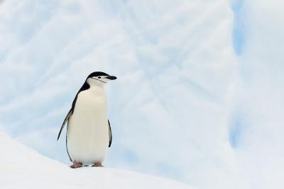 Chinstrap Penguin Standing on Iceberg