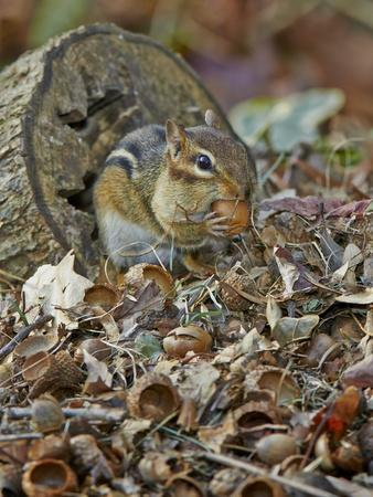 Eastern American Chipmunk