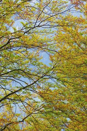 Beech Forest (Fagus Sylvatica) in Autumn Colors, Triglav National Park, Slovenia