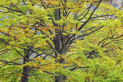 Beech Forest (Fagus Sylvatica) in Autumn Colors, Triglav National Park, Julian Alps, Slovenia