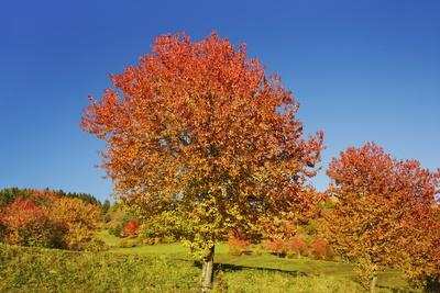 Cherry Tree (Prunus) in Autumn Colors, Val Gardena, Dolomites, South Tyrol, Italy