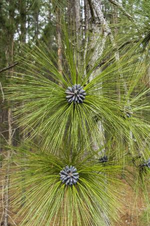 Longleaf Pine Bloom