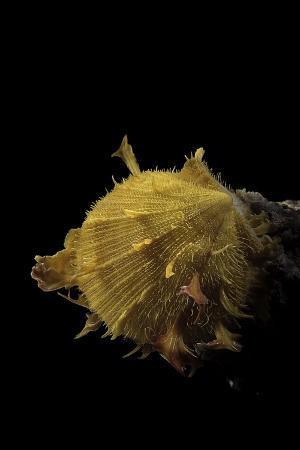 Spondylus Imbutus