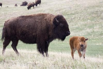 American Bison Cow with Calf