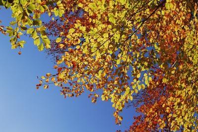 Red Beech (Fagus Sylvatica) in Autumn Colors, Triglav National Park, Julian Alps, Slovenia
