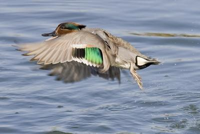 Male Green-Winged Teal Duck Takes Off