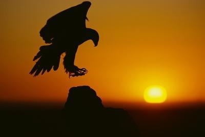 Golden Eagle Silhouette at Sunrise