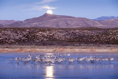 Sandhill Cranes and Full Moon, Bosque Del Apache, New Mexico