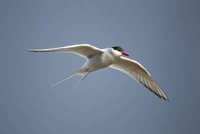 Arctic Tern in Flight, Hudson Bay, Canada