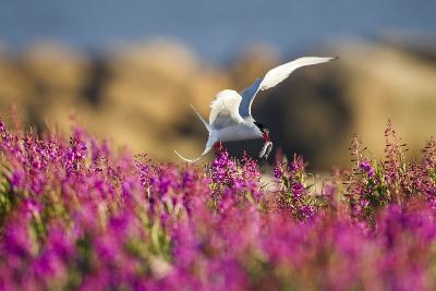 Arctic Tern, Hudson Bay, Canada