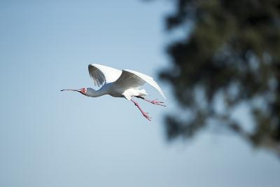 Spoonbill in Flight, Moremi Game Reserve, Botswana