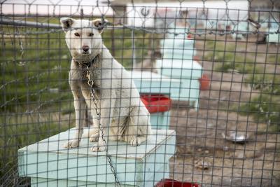 Sled Dog, Rankin Inlet, Nunavut, Canada