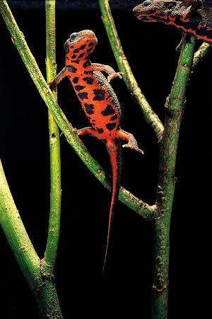 Cynops Pyrrhogaster (Japanese Fire-Bellied Newt)