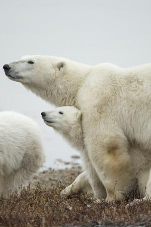 Polar Bear and Cub by Hudson Bay, Manitoba, Canada