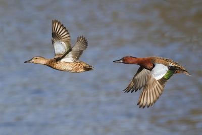 Cinnamon Teal Drake and Hen Flying