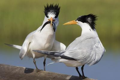 Elegant Tern Offers Fish to Potential Mate