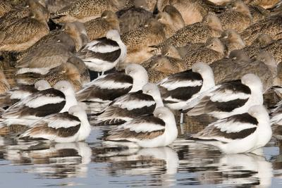 American Avocts,Marbled Godwits and Willets Sleeping