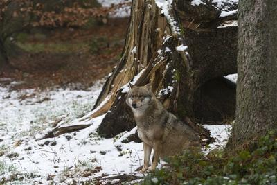 Gray Wolf (Canis Lupus), Bavarian Forest National Park.